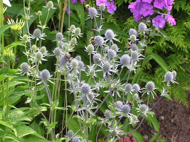 Bumblebees on Eryngium planum 'Blauer Zwerg'