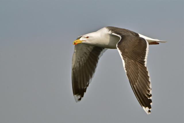 морская чайка в полете