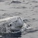 Risso's dolphin - Photo by Tethys Research Institute