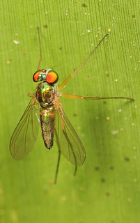Long-legged Fly - Amblypsilopus species, Sapelo Island, Georgia