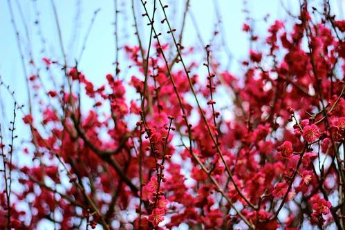 光琳の梅@下鴨神社( 2015.3.2)
