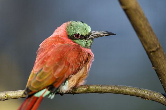 Perched bee eater