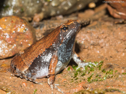 Ornate Narrow-mouthed frog