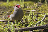 Red-browed Finch 2016-09-23 (60D_3453)