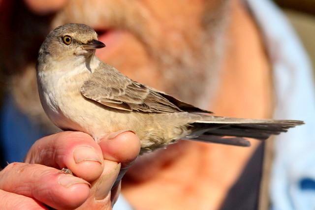 Barred Warbler (K.Webb)