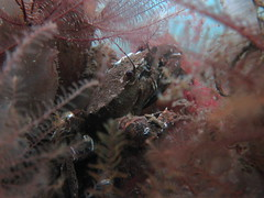 HolderVelvet crab in bed of feather stars . Credit: Dr Leigh Howarth