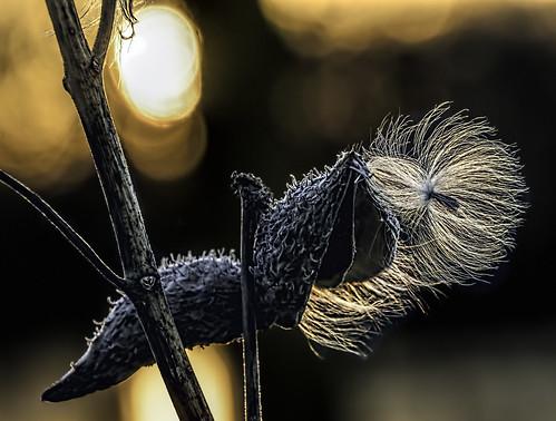 nature reflections illinois sunsets seeds seedpods pods odc milkweeds hcs parachutes desplaines asclepiassyriaca cookcountyforestpreserve nikkor18300mm bigbendlake ourdailychallenge clichesaturday
