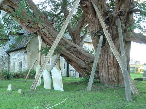 Ancient Yew (Berwick to Birling Gap)
