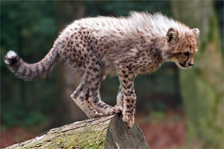Cheetah cub discovers the world