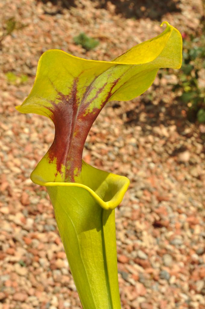 Sarracenia flava var. rugellii x flava var. flava, Triffid Park clone