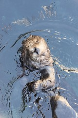 animal, marine mammal, mustelidae, fauna, sea otter, whiskers, beaver, wildlife,