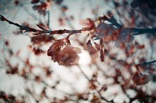 Cherry blossom.Double Exposure