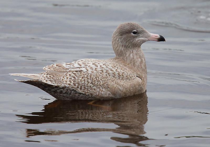 Glaucous Gull 1stw