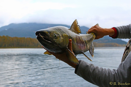 Chum Salmon.