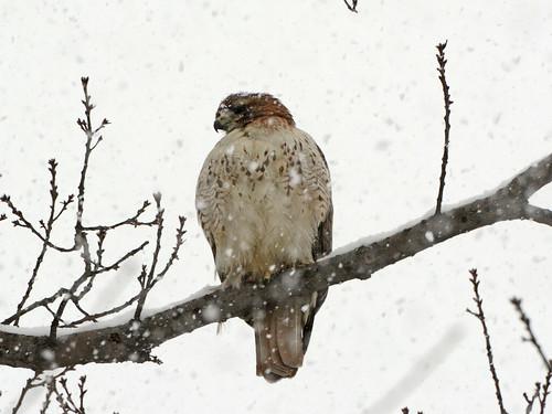 Snow Hawk - 6016