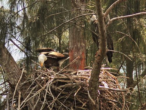 Bald Eagle male arranges stick 2-20150305