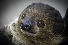 Xena the Two-Toed Sloth at the San Diego Zoo 02-20-15