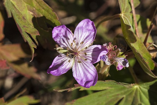 california flower purple geranium modoccounty geraniales cottonwoodlake rosid southwarnerrange