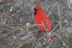 cardinal male IMG_1512a