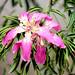 Floss Silk Tree, Chorisia speciosa by Ebroh