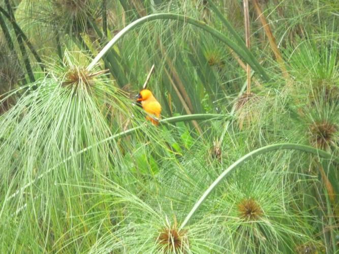 Cyperus papyrus 16482272970_edf6085f2f_o