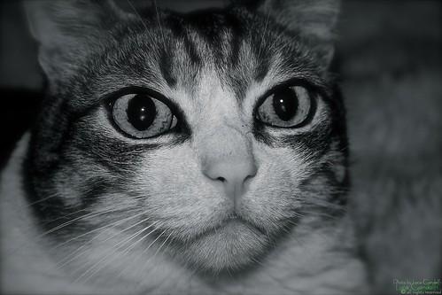 """Cat portrait """"Pulce"""""""