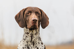 puppy(0.0), pet(0.0), dog breed(1.0), animal(1.0), dog(1.0), braque d'auvergne(1.0), german shorthaired pointer(1.0), carnivoran(1.0),