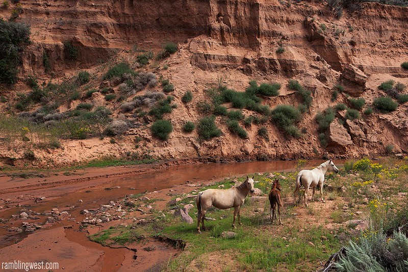 Feral Horses in Keet Seel Canyon