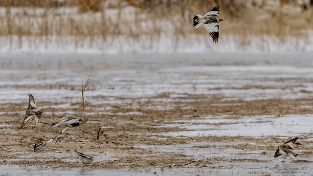 Snow bunting in flight