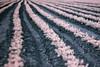 Infrared lettuce...