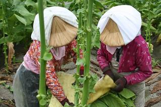驚蟄到,田裡開出一朵朵斗笠花。攝影:李慧宜