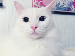 Yuki is popping in for a hello instagramers! 💗💗💗#yuki #whitecat #heterochromia #derp #catsofinstagram #catlove