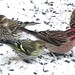 Jan2,2015 029 Cassin's Finch and Pine Siskin by terrygray