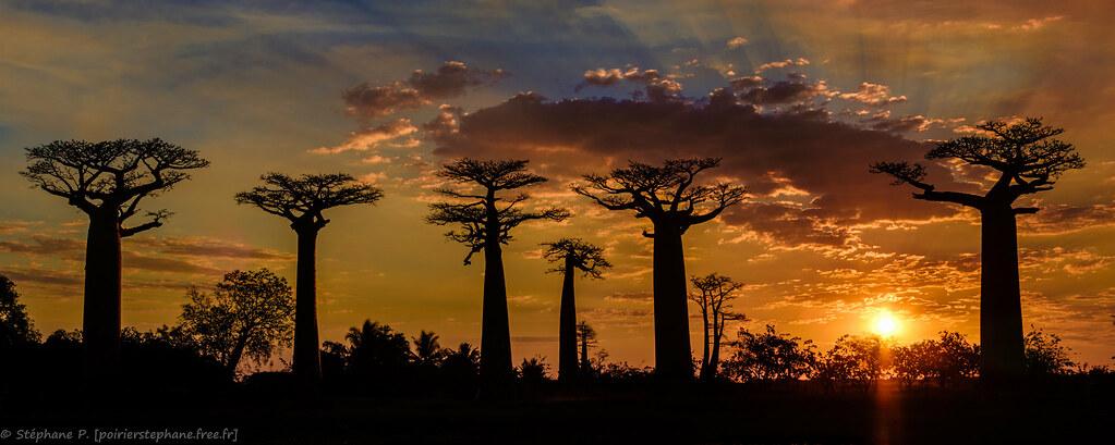 Baobabs au Soleil couchant, Madagascar