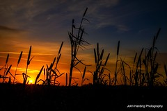 Sunrise in the Cat Tails.