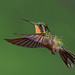 Female Mountain Gem Hummingbird, Costa Rica by pdmcclelland