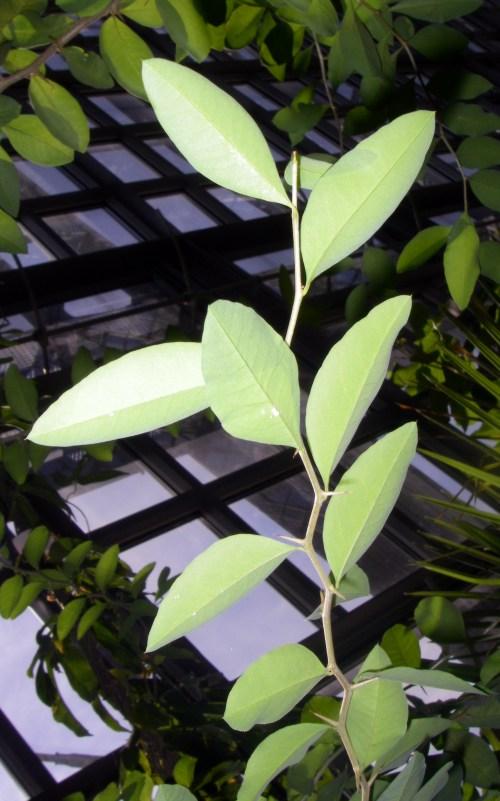 Achatocarpus praecox 15964269111_d58f9260ab_o