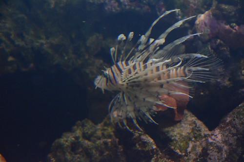 Lion Fish im Züricher Zoo