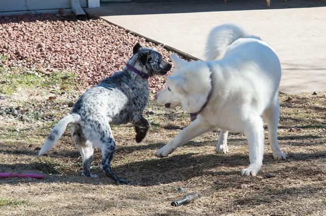 Keda and Snow Doggie Wrestling 1
