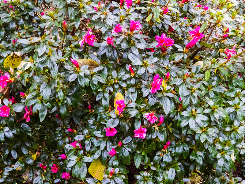 Azaleas in bloom in December - it must be warm