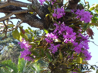 """Orchids """"invading"""" a tree in the Panamerican Highway to Guatemala"""