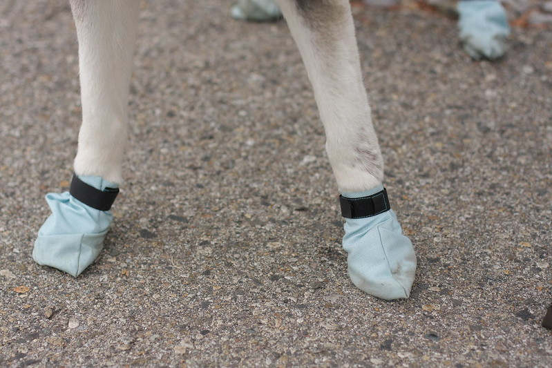 Dog booties (for bikejoring) sewn by Kevin