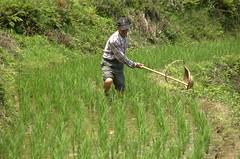 不用農藥的目標促使農民找回傳統適切技術來管理蟲害,人禾基金會圖供照片。