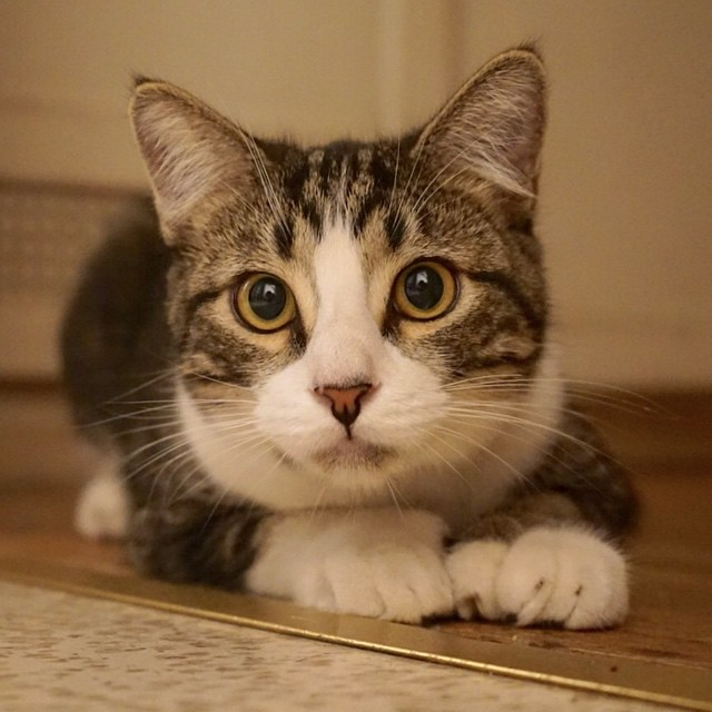 Polydactyl Cats Breeds