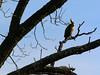 Phalacrocorax auritus by Concho River in San Angelo