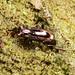 Notiophilus cf. biguttatus by terraincognita96