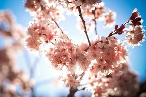 Cherryblossom|阿里山 Alishan