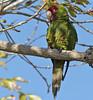 red-masked parakeet (feral)