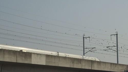 鳥類喜歡停棲在高鐵旁的電線上