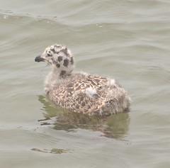 Western Gull (juvenile)